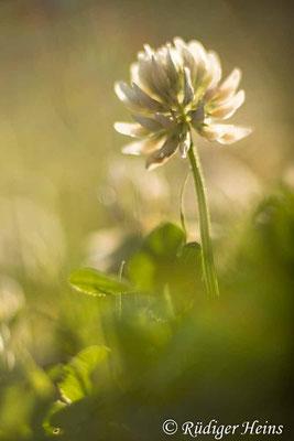 Trifolium repens (Weißklee), 3.7.2021