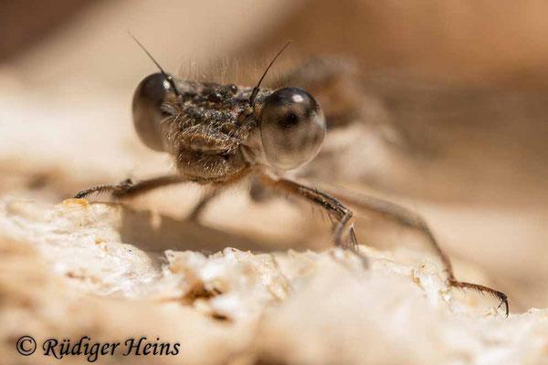 Sympecma fusca (Gemeine Winterlibelle) Weibchen beim morgendlichen Sonnenbad in Gewässernähe, 10.4.2020