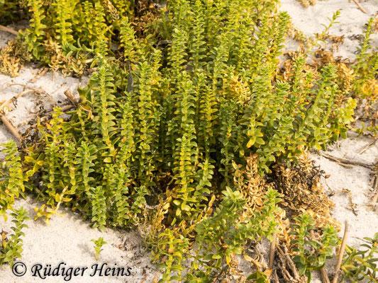 Honckenya peploides (Salzmiere), 20.9.2020