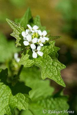 Alliaria petiolata (Knoblauchsrauke), 20.4.2020