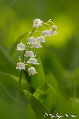 Convallaria majalis (Maiglöckchen) Blütenstand, 23.5.2020
