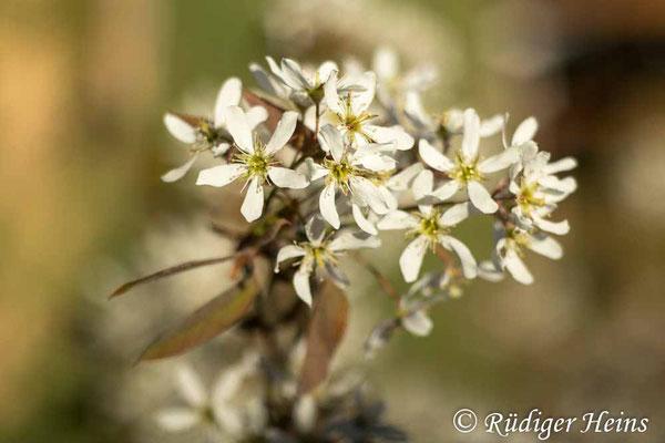 Amelanchier ovalis (Gewöhnliche Felsenbirne), 18.4.2020