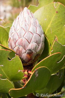 Protea cynaroides (Königsprotea), 15.1.2019