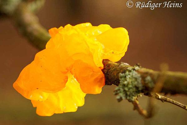 Goldgelber Zitterling (Tremella mesenterica), 19.12.2016 (Stack aus 13 Fotos)