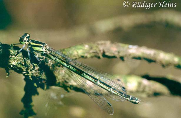 Coenagrion hastulatum (Speer-Azurjungfer) Weibchen, 30.6.1995 (Scan vom Dia)