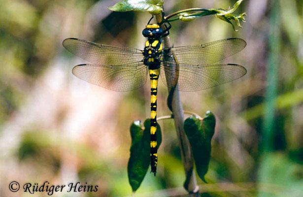 Cordulegaster insignis (Türkische Quelljungfer) Weibchen, 10.6.2001 (Scan vom Dia)