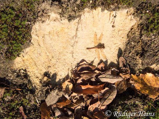 Sympetrum striolatum (Große Heidelibelle) Männchen beim Sonnenbad, 27.11.2020