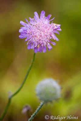 Knautia arvensis (Acker-Witwenblume), 6.10.2019