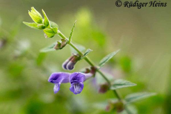 Scutellaria galericulata (Sumpf-Helmkraut), 6.8.2016
