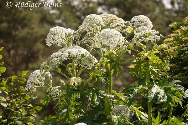 Heracleum mantegazzianum (Riesen-Bärenklau), 22.6.2012