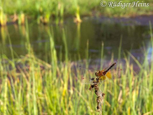 Sympetrum flaveolum (Gefleckte Heidelibelle) Männchen, 7.8.2018
