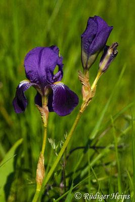 Iris germanica (Deutsche Schwertlilie), 6.5.2016