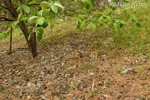 Neottia nidus-avis (Vogel-Nestwurz) Habitat, 30.5.2014