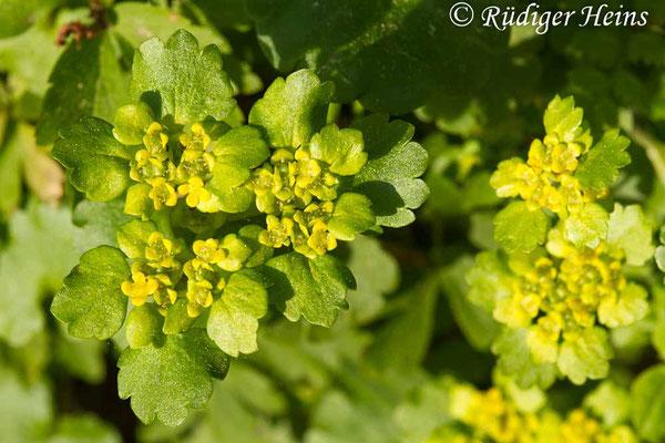 Chrysosplenium alternifolium (Wechselblättriges Milzkraut), 24.4.2019