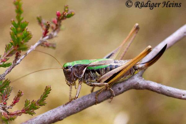 Metrioptera brachyptera (Kurzflügelige Beißschrecke) Weibchen, 14.9.2018
