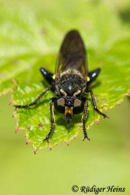 Choerades marginata (Gemeine Mordfliege) Männchen, 4.8.2020