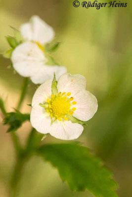 Fragaria vesca (Wald-Erdbeere), 5.6.2020