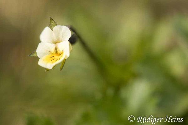 Viola arvensis (Acker-Stiefmütterchen), 11.4.2020