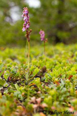 Orchis spitzelii (Spitzel's Knabenkraut), 31.5.2014