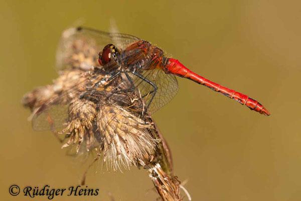 Sympetrum sanguineum (Blutrote Heidelibelle) Männchen, 4.9.2010