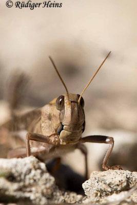 Locusta migratoria (Europäische Wanderheuschrecke) Männchen, 27.9.2019