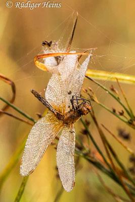 Sympetrum flaveolum (Gefleckte Heidelibelle) Männchen im Spinnennetz, 17.9.2018