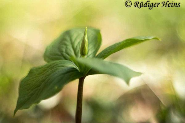 Paris quadrifolia (Vierblättrige Einbeere), 8.5.2021 - Pentacolor 50mm f/1,8