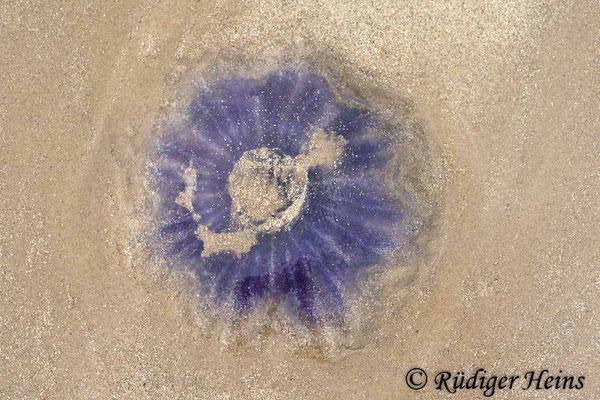 Cyanea lamarckii (Blaue Nesselqualle), 15.7.2008