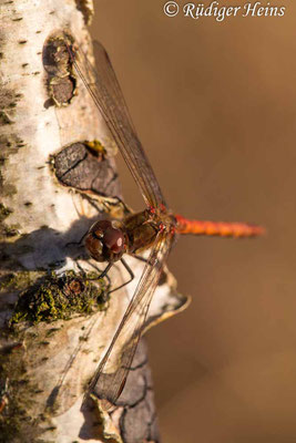 Sympetrum striolatum (Große Heidelibelle) Männchen beim Sonnenbad, 7.11.2020