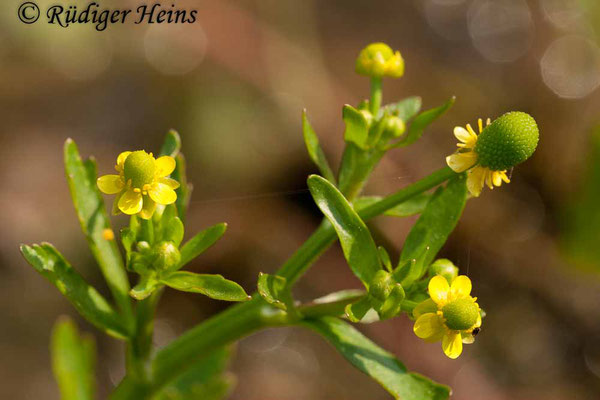 Ranunculus sceleratus (Gift-Hahnenfuß), 6.6.2010