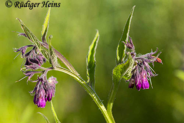 Symphytum officinale (Gemeiner Beinwell), 29.5.2020