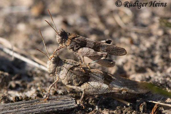 Oedipoda caerulescens (Blauflügelige Ödlandschrecke) Männchen auf Weibchen, 22.8.2018