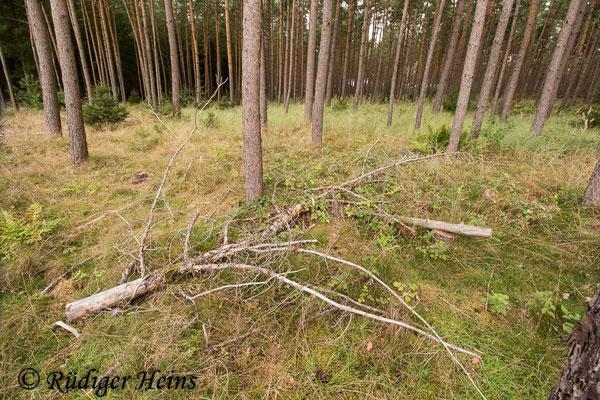 Tolmerus atricapillus (Gemeine Raubfliege) Habitat, 3.9.2020