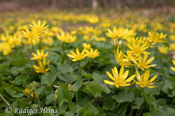 Ranunculus ficaria (Scharbockskraut), 17.4.2021