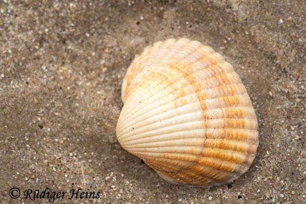 Cerastoderma sp. (Herzmuschel), 18.7.2008