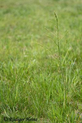 Asparagus officinalis (Weißer Spargel), 18.05.2020