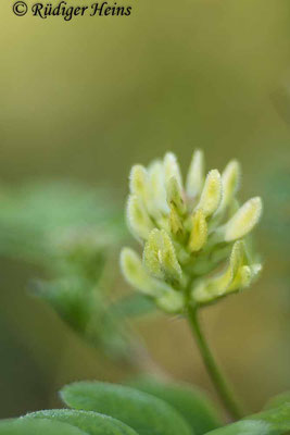 Astragalus glycyphyllos (Bärenschote), 13.7.2021