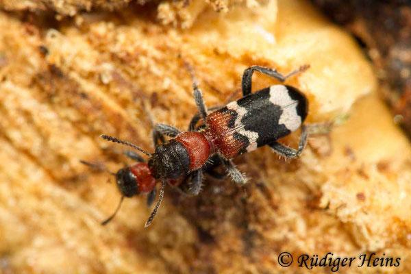 Thanasimus formicarius (Ameisenbuntkäfer), 9.4.2020