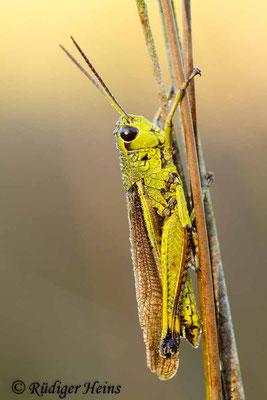 Stethophyma grossum (Sumpfschrecke) Männchen, 19.10.2014
