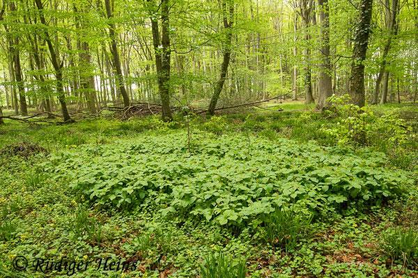 Paris quadrifolia (Vierblättrige Einbeere) Pflanzengruppe, 15.5.2021 - Weitwinkelzoom 16-35mm f/4