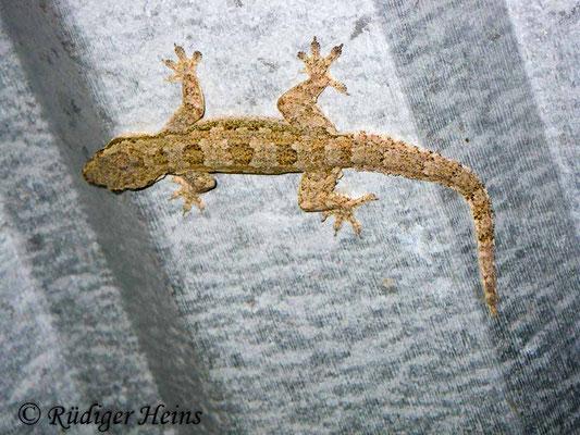 Hemidactylus frenatus (Asiatischer Hausgecko), 27.1.2018