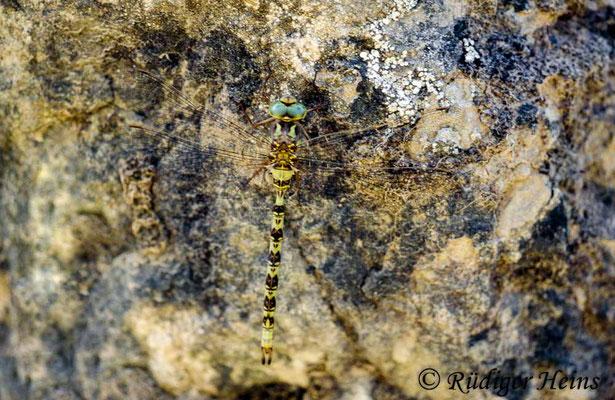 Boyeria irene (Westliche Geisterlibelle) Männchen, 16.7.1988 (Scan vom Dia)