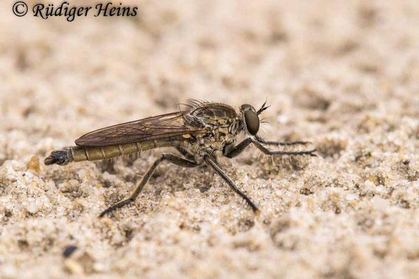 Philonicus albiceps (Sand-Raubfliege) Männchen, 15.7.2021