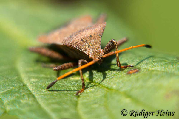 Coreus marginatus (Lederwanze), 7.8.2019