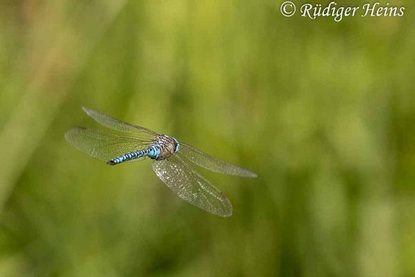 Aeshna affinis (Südliche Mosaikjungfer) Männchen im Flug, 5.8.2021 - Makroobjektiv 180mm f/3.5