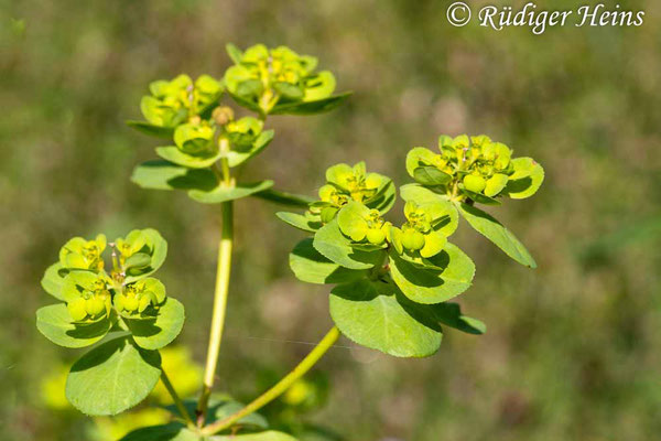 Euphorbia helioscopia (Sonnwend-Wolfsmilch), 26.7.2008