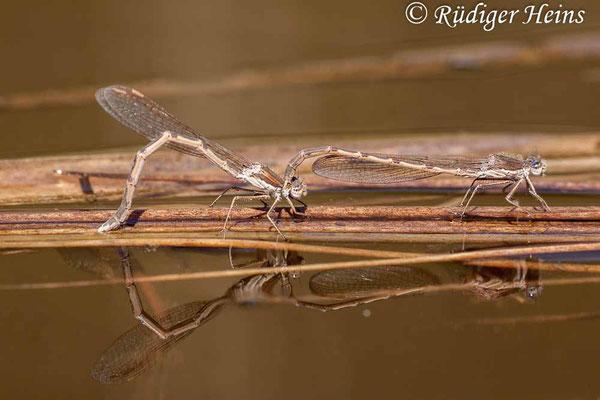 Sympecma fusca (Gemeine Winterlibelle) Tandem bei Eiablage, 23.4.2020