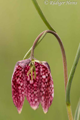 Fritillaria meleagris (Schachblume), 3.5.2021