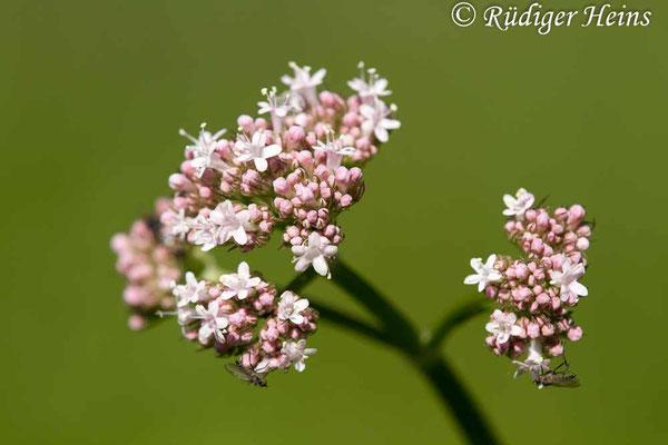 Valeriana officinalis (Echter Baldrian), 1.6.2020