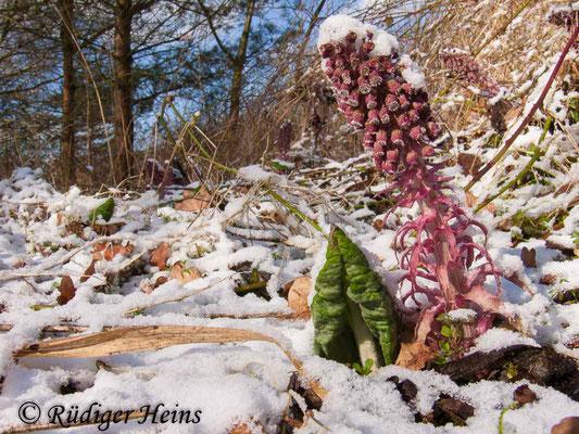 Petasites hybridus (Gewöhnliche Pestwurz), 23.3.2008